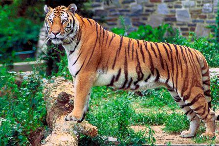 fakta om tigrar